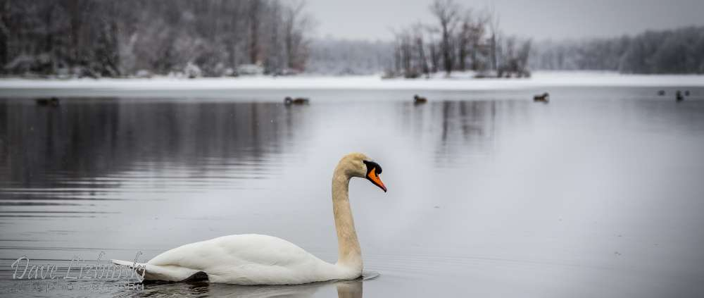 8 Beech Mountain Swan Winter 2.jpg